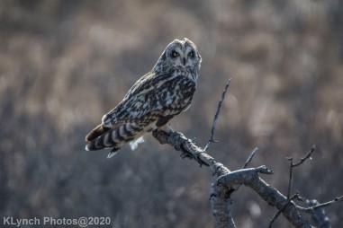 Owl_75