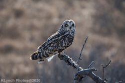 Owl_78
