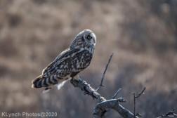 Owl_79