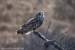 Owl_80