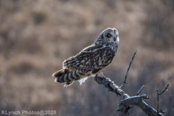 Owl_82