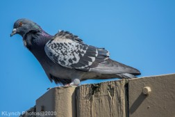 pigeon_1