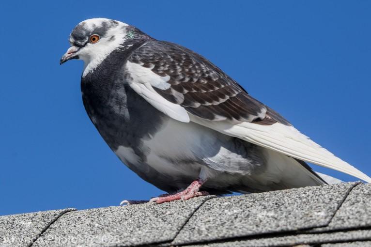 Pigeon_3