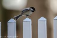 Chickadee_5