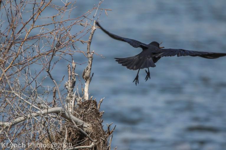 crow_3