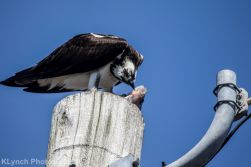 Osprey_12