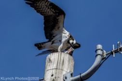Osprey_15