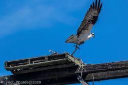 Osprey_16