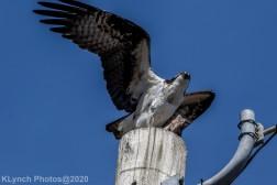 Osprey_18