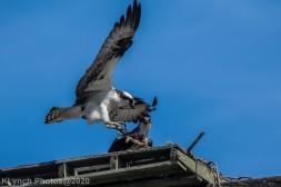 Osprey_25