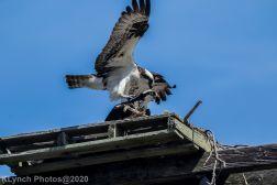 Osprey_27