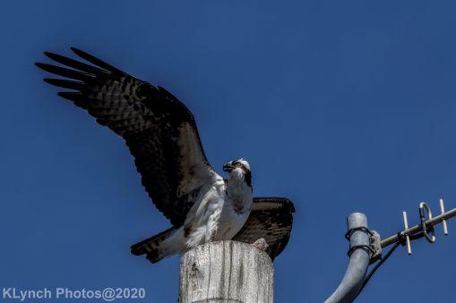 Osprey_31