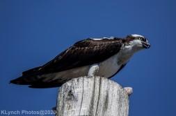 Osprey_4
