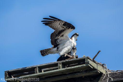 Osprey_41