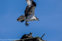 Osprey_48