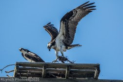 Osprey_5