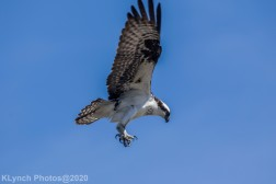 Osprey_50