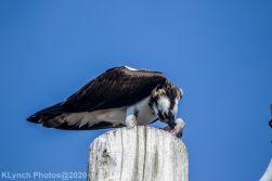 Osprey_6