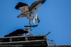 Osprey_61