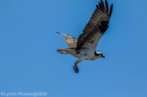 Osprey_63