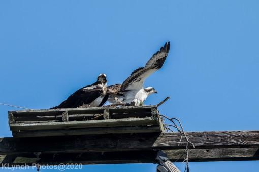 Osprey_66