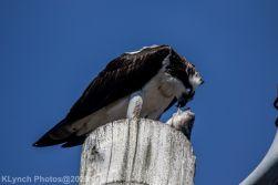 Osprey_7