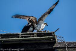 Osprey_70