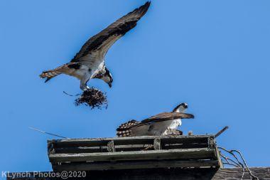 Osprey_76