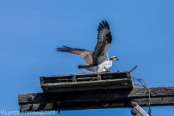Osprey_82