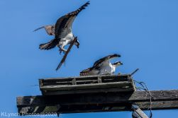 Osprey_84