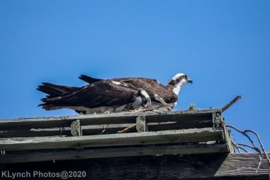 Osprey_86