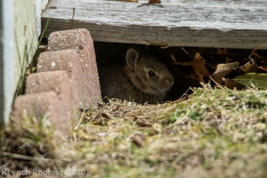 Rabbit_31