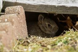 Rabbit_35