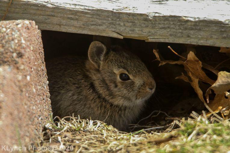 Rabbit_36