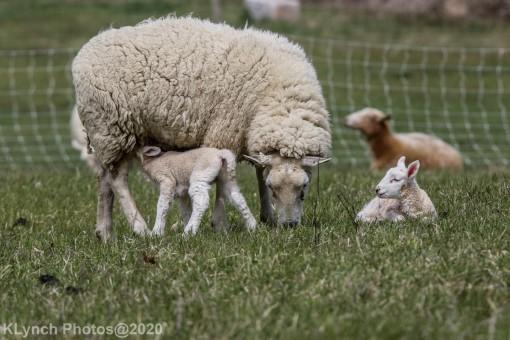 Sheep_100