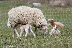 Sheep_101