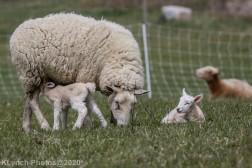 Sheep_102