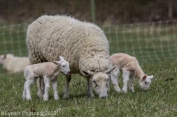 Sheep_103