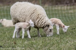 Sheep_104