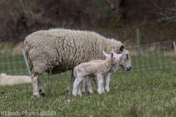 Sheep_105