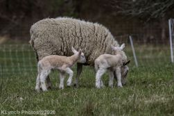 Sheep_106
