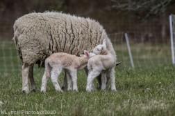 Sheep_107