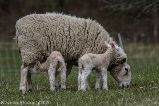 Sheep_108