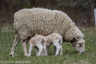 Sheep_109