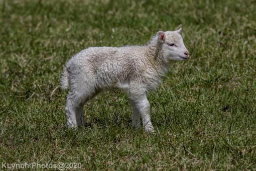 Sheep_11
