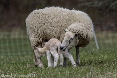 Sheep_110