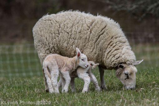 Sheep_111
