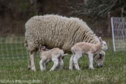 Sheep_112