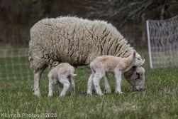 Sheep_113
