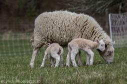Sheep_114